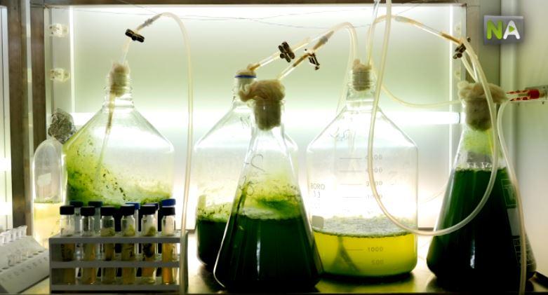 Mikroalge Treibstoff